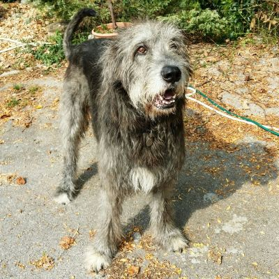 Ozzy the Wolfhound