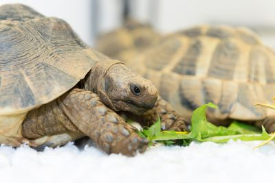 How does your tortoise weigh up?