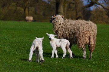 Getting Ready for Lambing