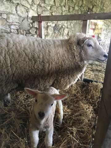 Lambing season is underway