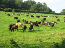 Cattle grazing Gallery