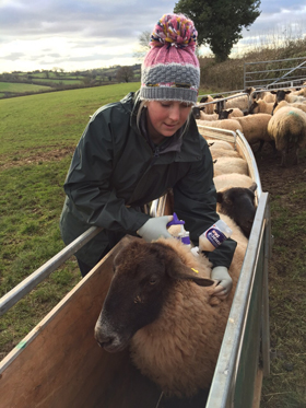 Vaccinating Ewes