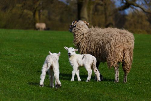 Practical Lambing Workshop