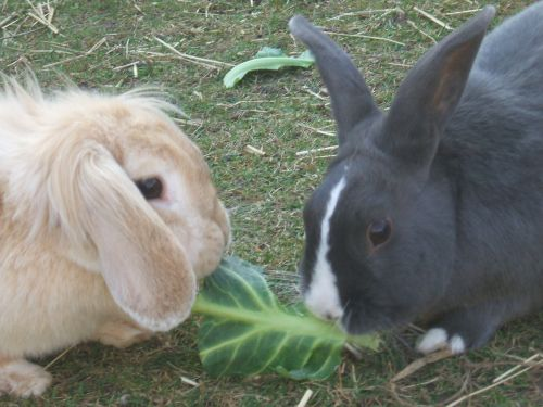 Rabbit Vaccination Clinics